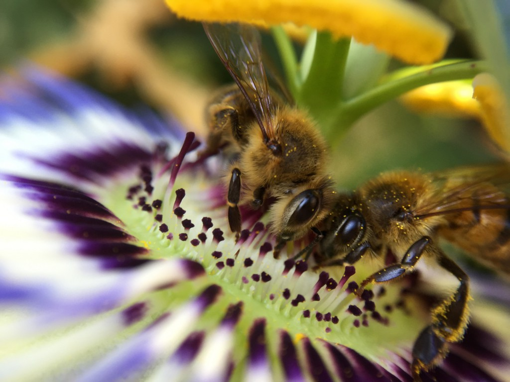 Two Bees on Passion Flower Macro